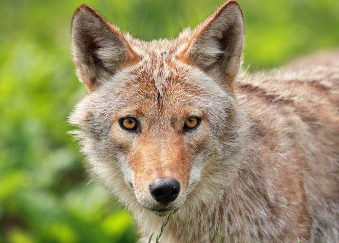 Curious Coyote Walks Into School Classroom